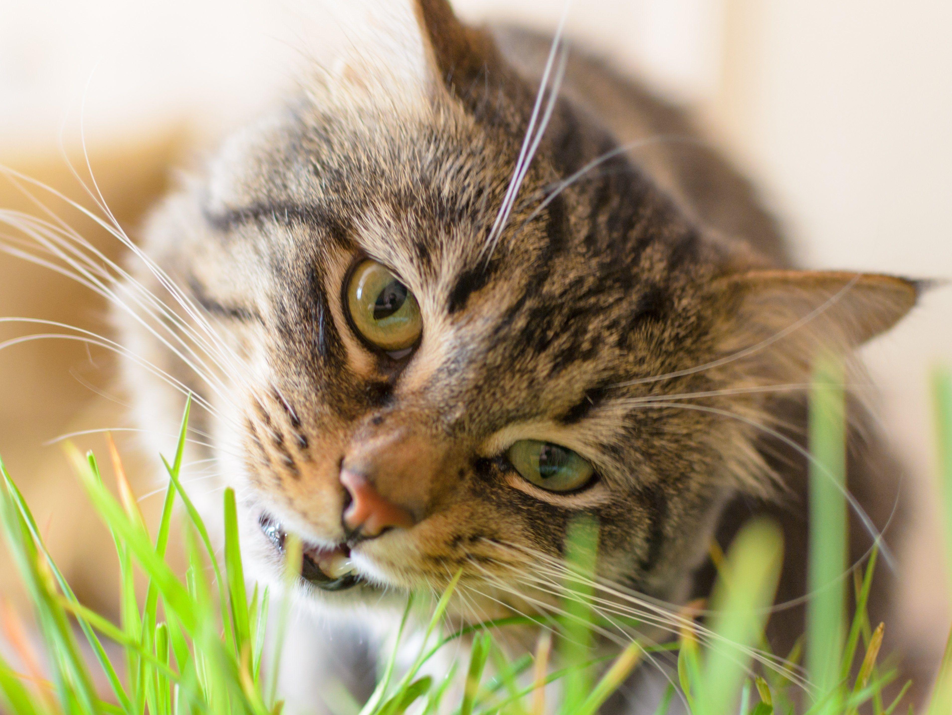 Why Do Cats Eat Grass? Cat grass, Cats, Cat eating grass
