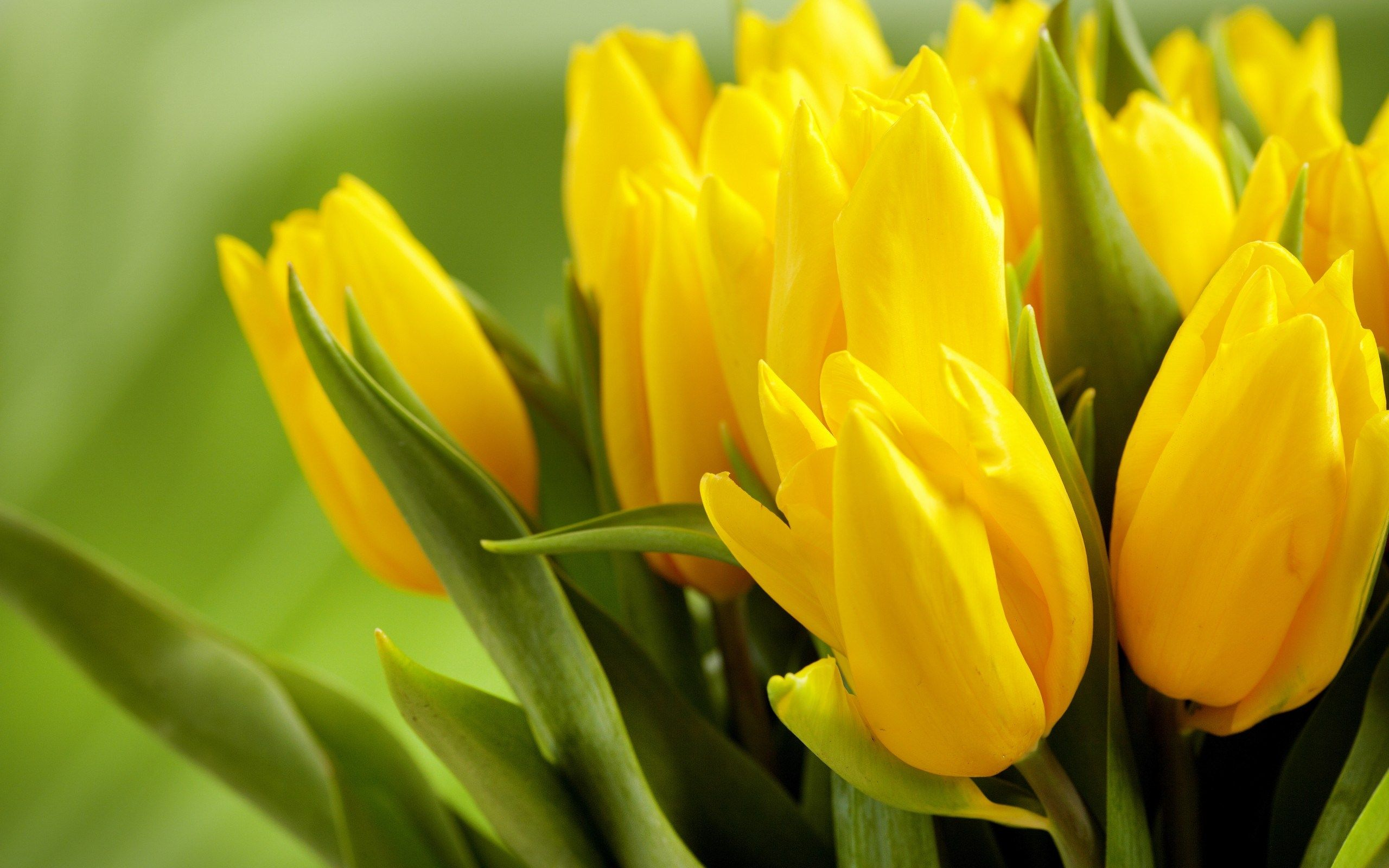 Yellow Flowers Hd Wallpaper 2560x1600 23763 Yellow Tulips Yellow Flower Wallpaper Yellow Flowers