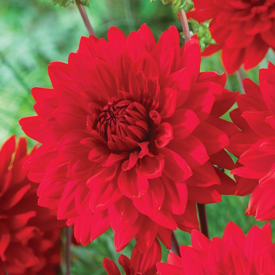 Garden Wonder Dahlia Bulb Flowers Bulbs And Seeds Plants