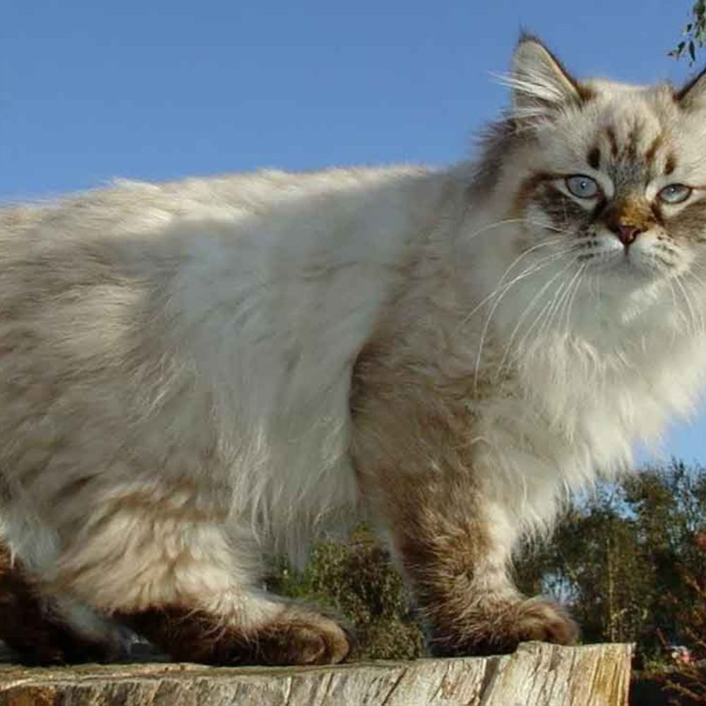 American bobtail   Information & Cat Breed Facts ...