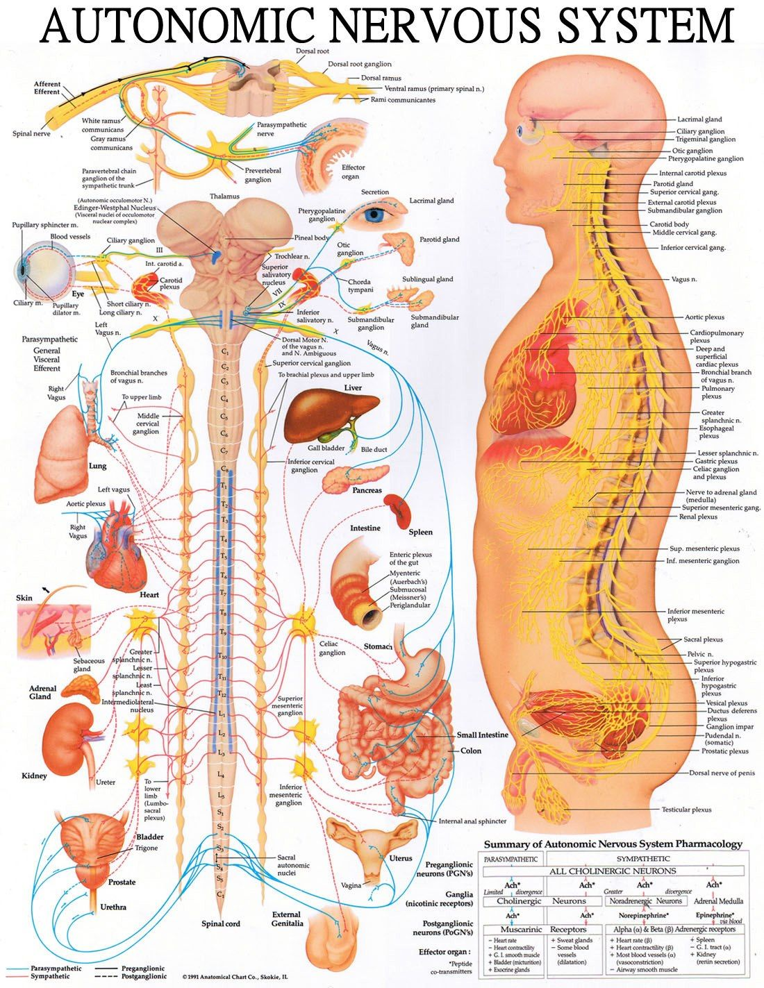 hight resolution of spinal health matters for all your organ functions immunity and overall health