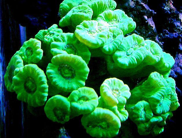 Kryptonite Candy Cane Coral I Want Some Coral Reef Aquarium Saltwater Aquarium Saltwater Tank