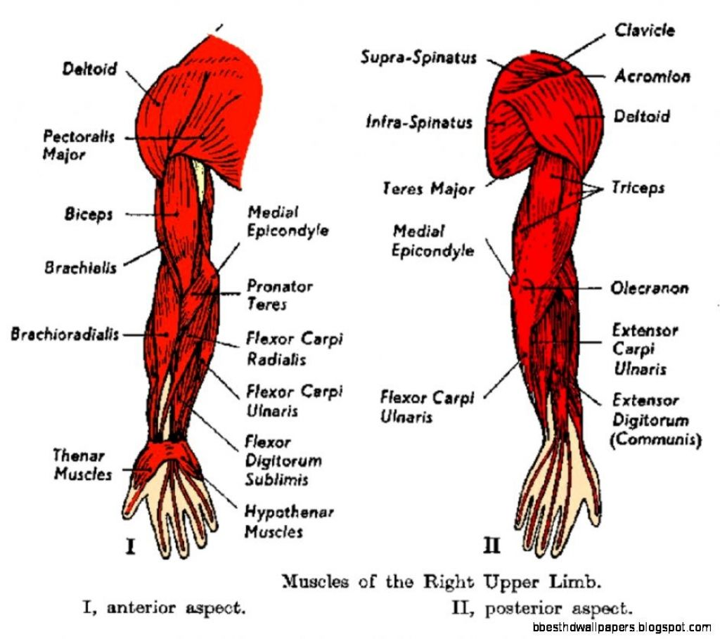 Human Arm Muscle Diagram Of Arm Muscles Upper Arm Muscles Anatomy Human Anatomy