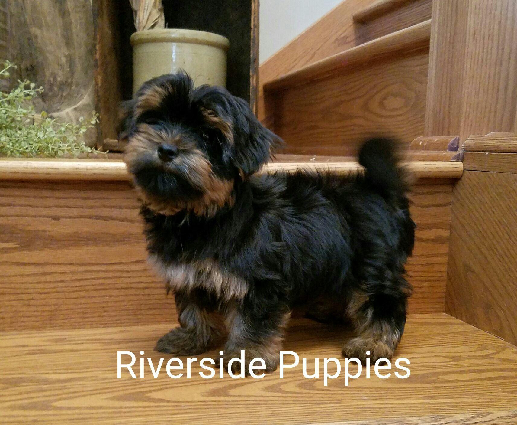 Pin By Riverside Puppies Ohio Trish B On Riverside Puppies