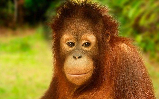 Adorable chimpanzee