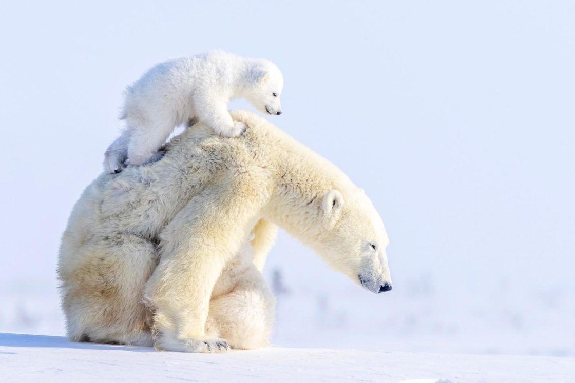 Ours Polaires Polar Bears Voyage Onirique En 2020 Ours Polaire Bebe Ours Polaires Ours Blanc