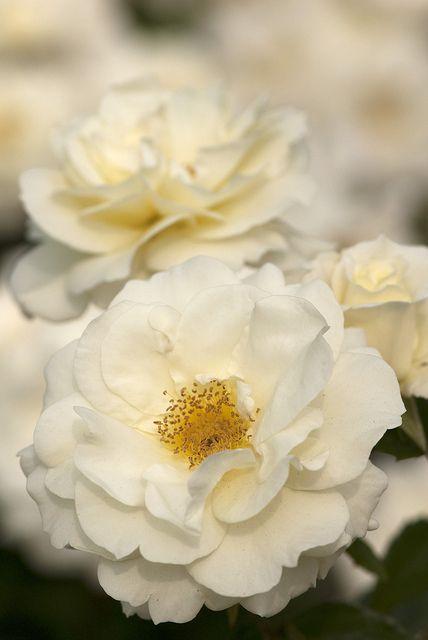 "Rosa Baicream ""Macy's Pride"" climbing rose"