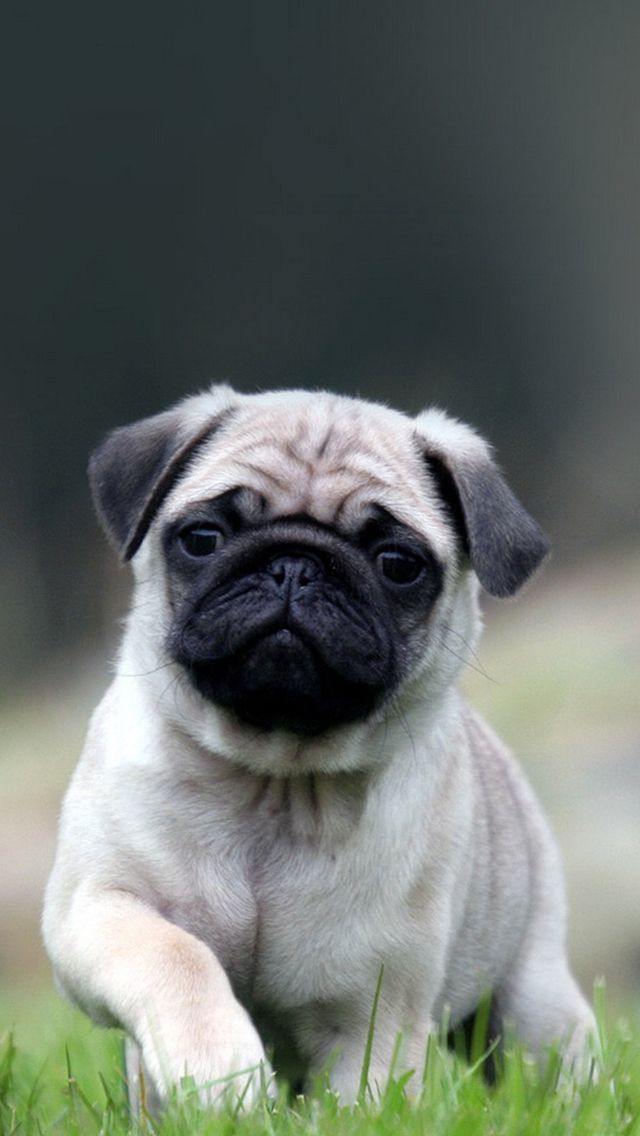 Cute Pug Dog In Grass IPhone 5s Wallpaper