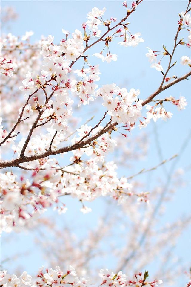 Pin By Uyen On Flowers Cherry Blossom Wallpaper Spring Wallpaper Beautiful Landscape Wallpaper