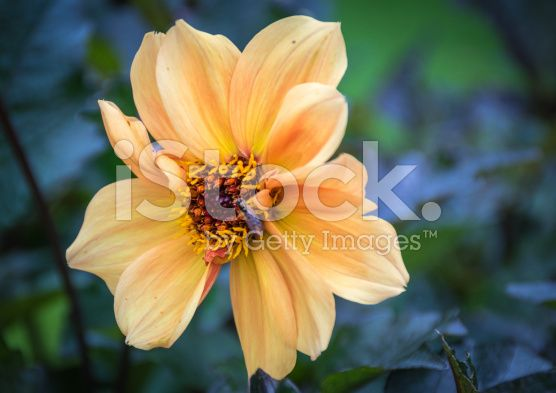 Apricot-coloured rose royalty-free stock photo
