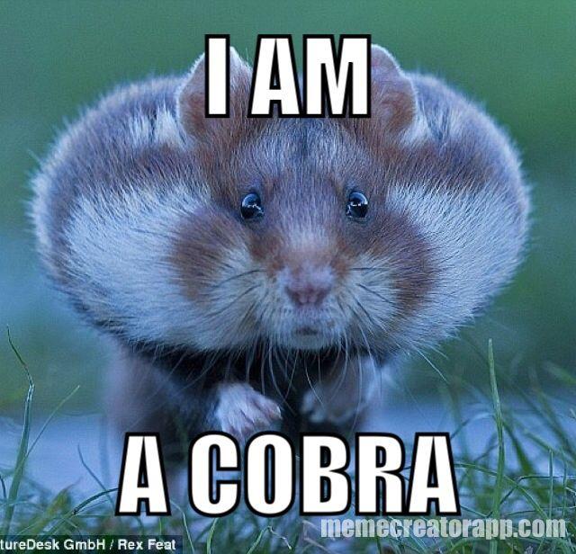 I AM A COBRA HAMSTER Hamster Memes Pinterest Animal
