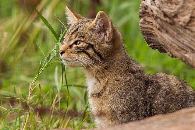 Aw9h8267 Inquisitive Scottish Wildcat Kitten Felis Silvestris Grampia Explored 15 11 13