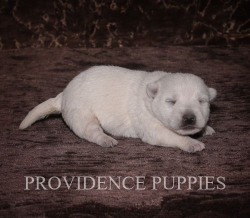 West Highland White Terrier puppy for sale in WAYLAND, IA