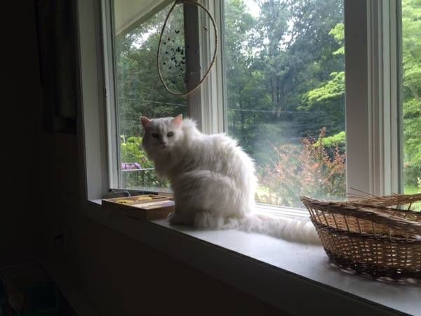 Lost White Cat Hunt Rd Columbia Ct Call 8609877417 Reply By Email Fcx7z 5210960933 Comm Craigslist Org Lost Or Found Lost Lost Long Hai White Cat Pets