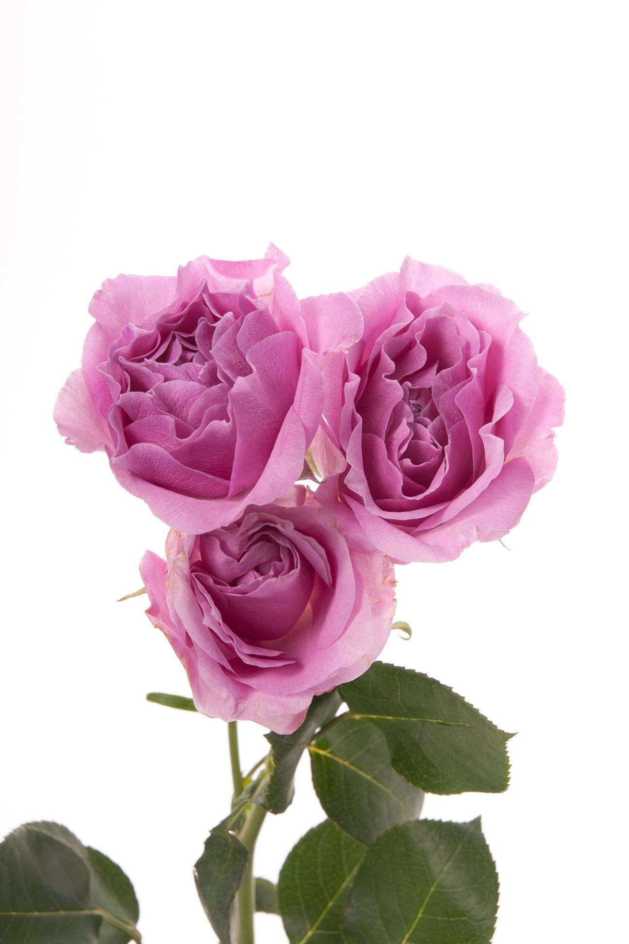 Lavender Spray Roses Blue Moon Spray Roses Roses Flower Muse Lavender Spray Lavender Flowers Spray Roses