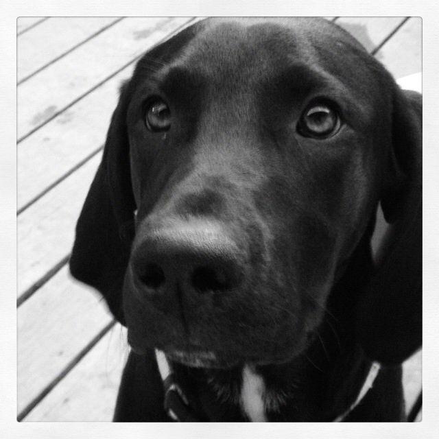 Treeing Walker Coonhound/ Lab mix I <3 my rescue puppy