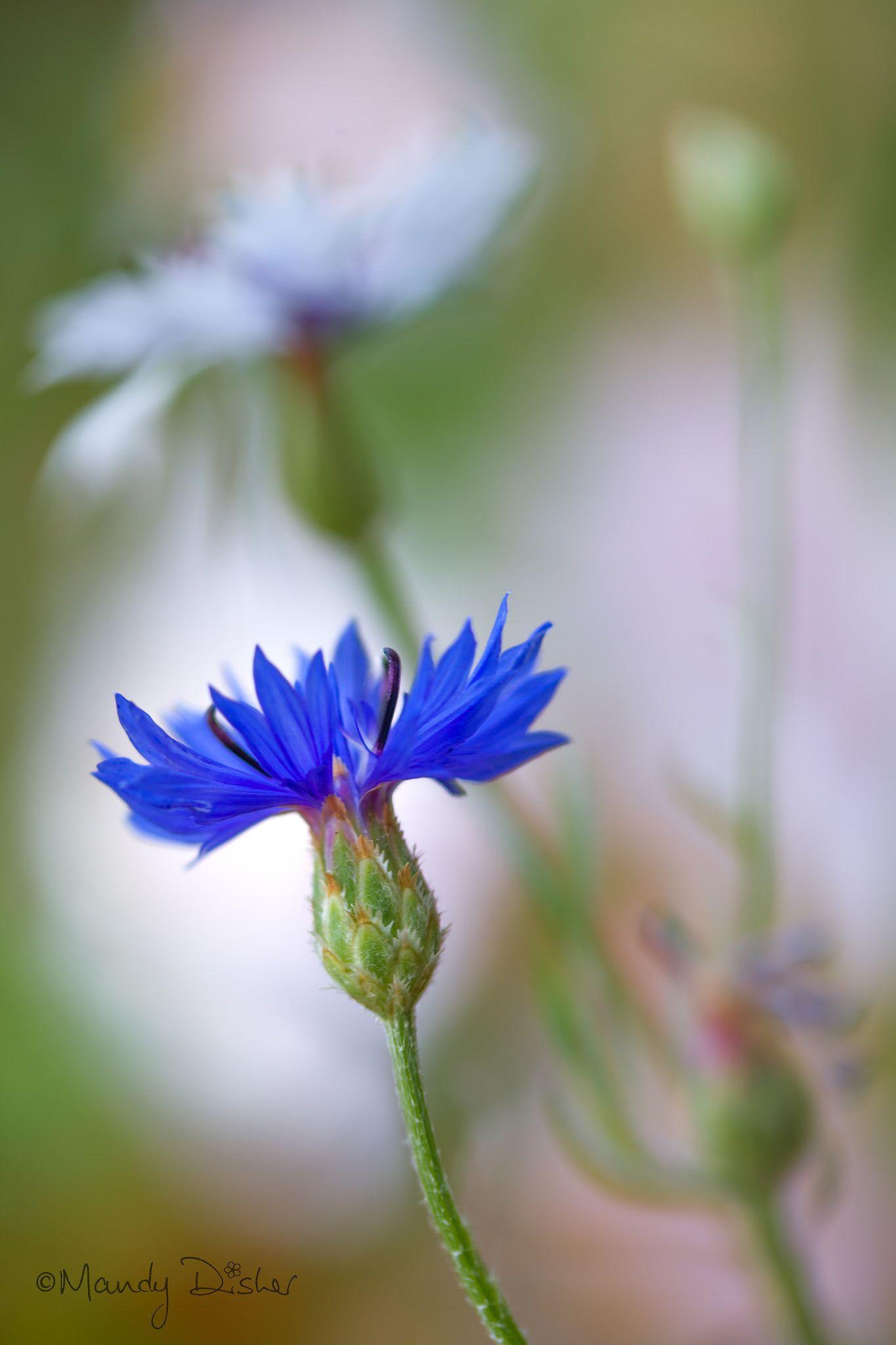 Cornflower Purple Flowers Botanical Flowers Cornflower