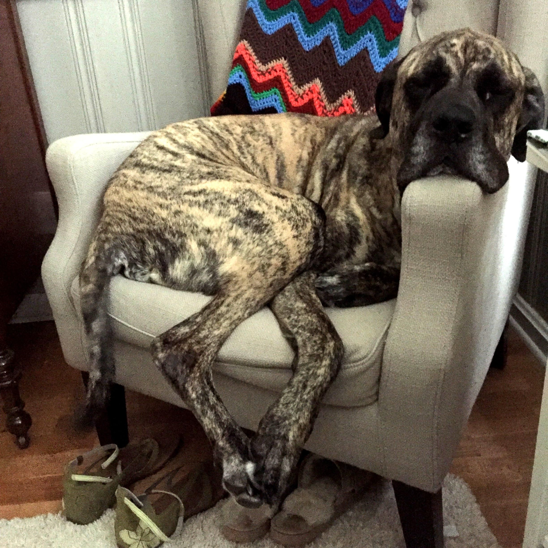 Daniff dog for Adoption in Norwood, GA. ADN712731 on