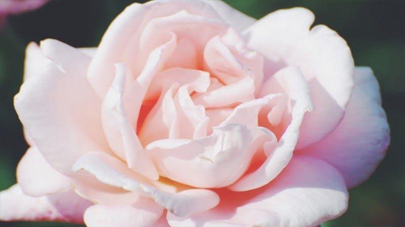 Paling Populer 26 Gambar Bunga Putih Cantik Filosofi Dan Fakta Tentang Bunga Mawar Putih Yang Cantik Bunga Putih Bunga Mekar Gambar Bunga Bunga Mawar Putih