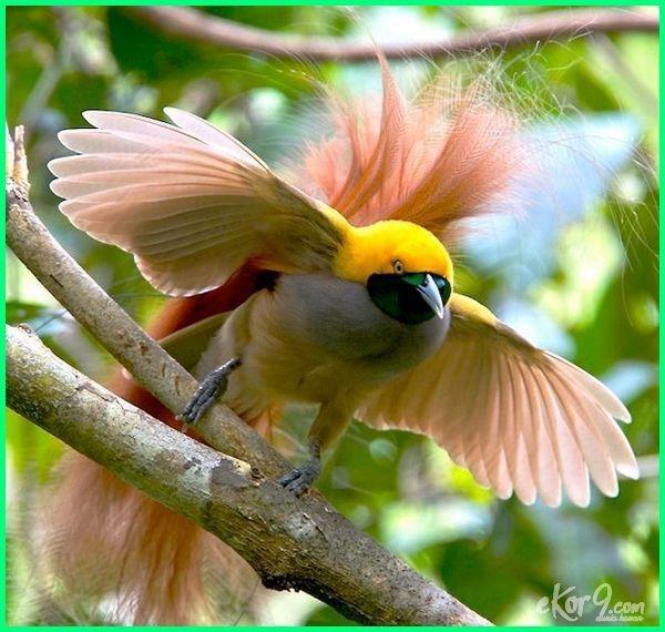 Burung Cendrawasih Cantik Yang Ada Di Indonesia Gambar Burung Burung Burung Cantik