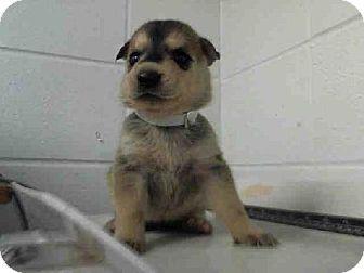 Houston Tx Shiba Inu Mix Meet A1254973 A Puppy For Adoption Puppy Adoption Kitten Adoption Pets