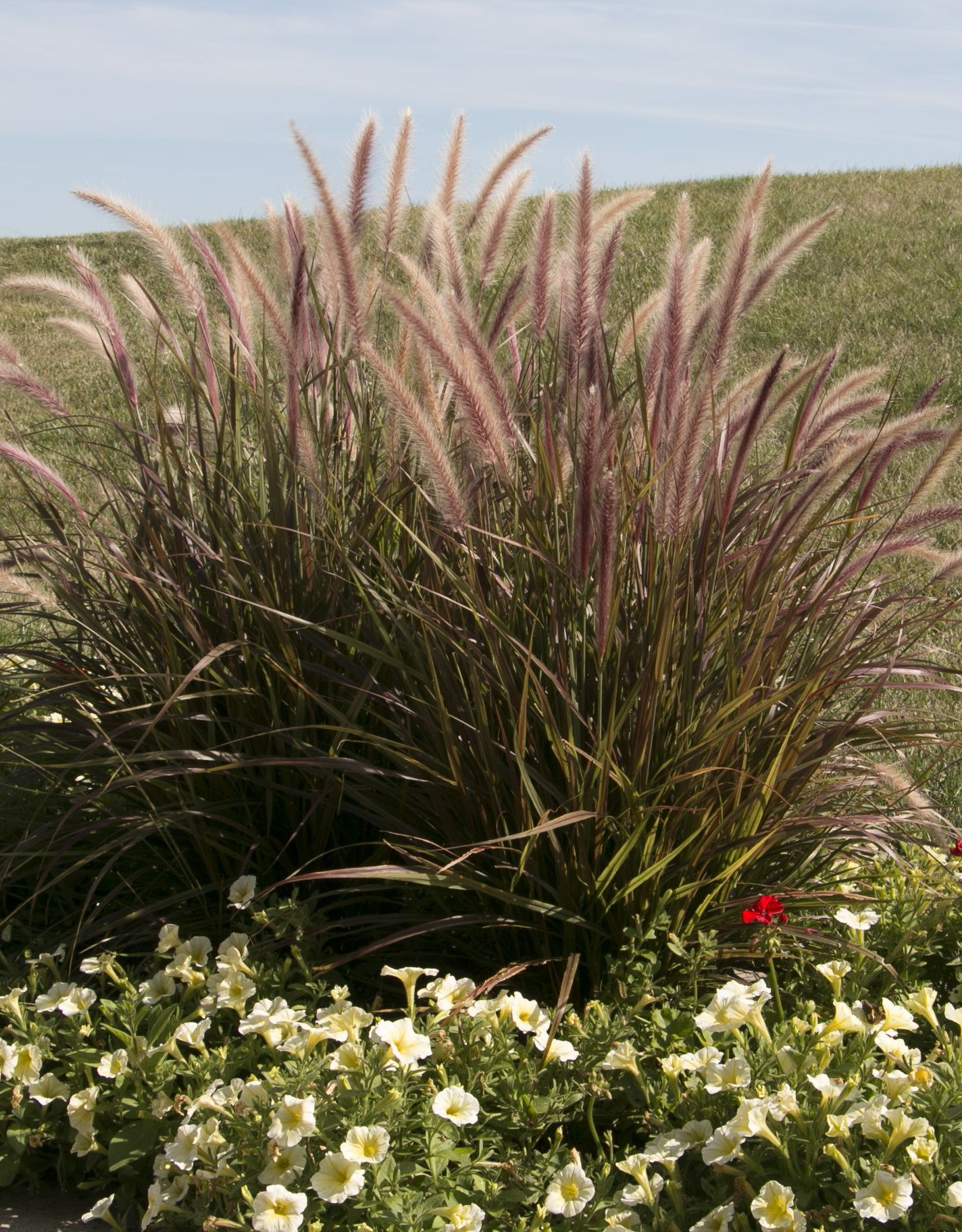 Graceful Grasses Fireworks Variegated Red Fountain Grass Pennisetum Setaceum Rubrum Ornamental Grasses Red Fountain Grass Fountain Grass