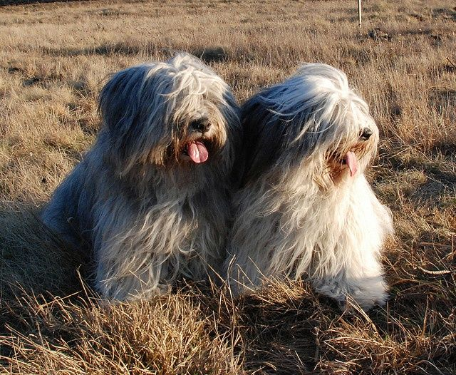 Pon Polish Lowland Sheepdog Unusual Dog Breeds Bearded Collie