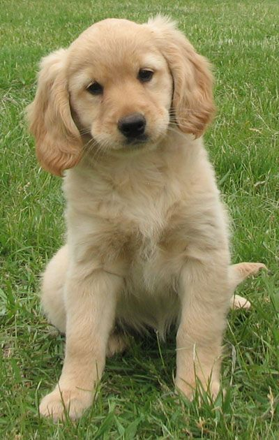 Voorkeur Golden Retriever Dog Breed Information | Doggies | Golden cocker #FQ06