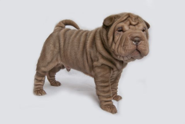 Pin By Pup Culture Vegas On Wrinkles Aren T All Bad C Shar Pei