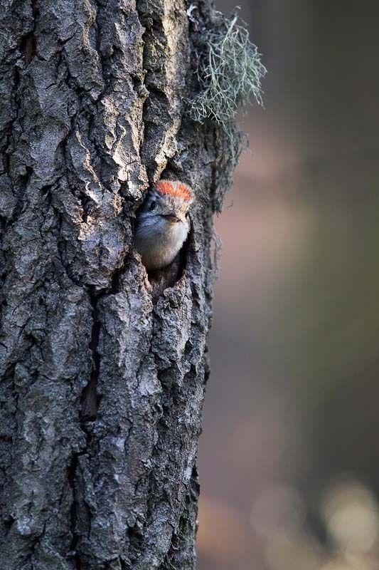 Pikkutikka, Dendrocopos minor - Linnut - LuontoPortti