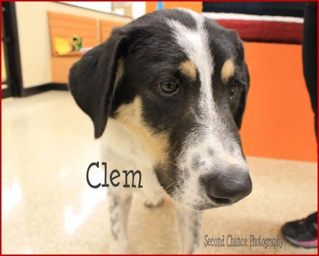 Clem - Clay County Animal Shelter in Henrietta, Texas - ADOPT OR FOSTER - Young Male Lab/Great Pyrenees Mix - RESCUING ONE MAKES ROOM FOR ANOTHER