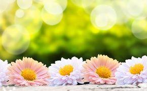 Обои цветы, гербера, цветы, природа, гербера, белый, цветок, размытие, обои., Bokeh, зеленый фон, розовый, природа, цветок