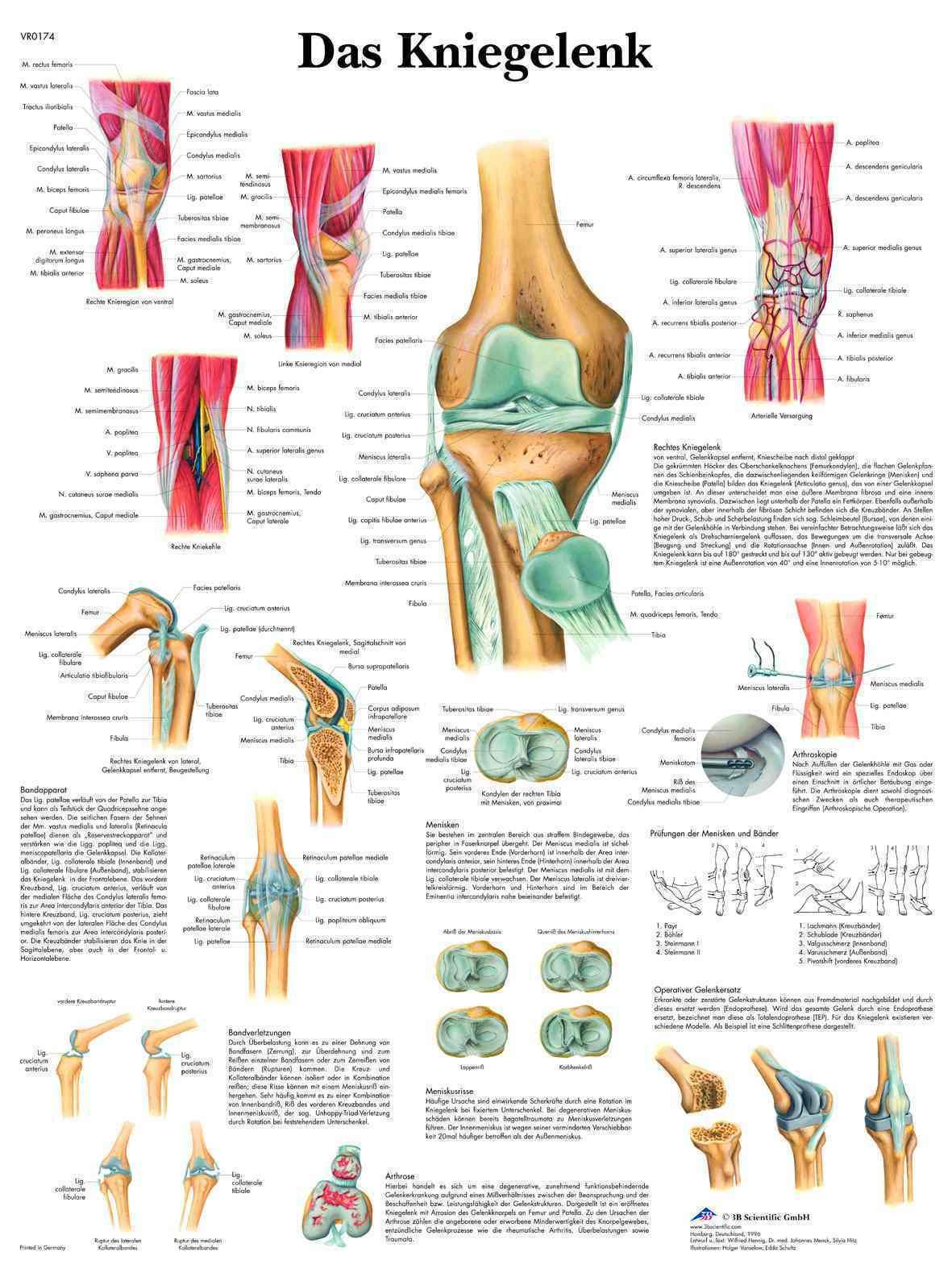 das Kniegelenk Lehrtafel Anatomie 50 x 67cm Poster • EUR 9,35 ...
