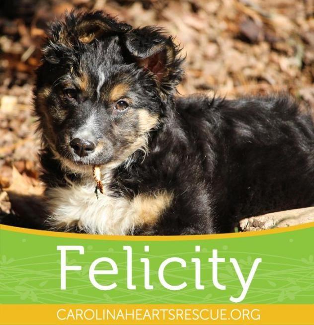Adopt Felicity On With Images Shepherd Mix Dog Australian