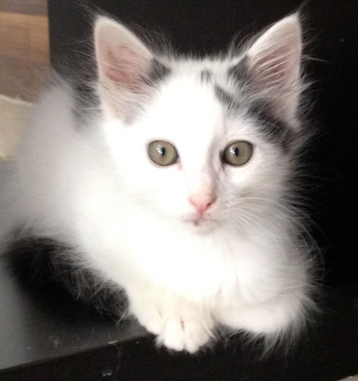 Milton is a sweet & soft 5month old baby kitten who's