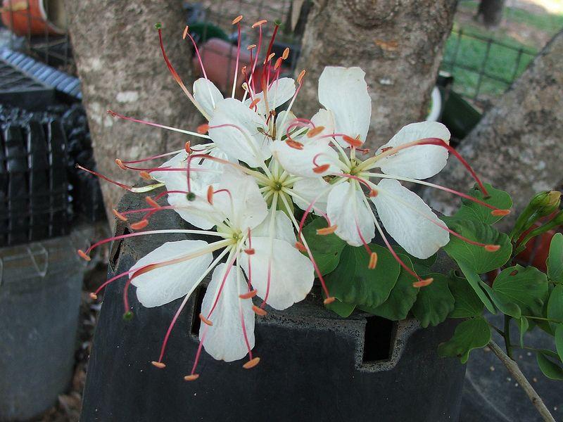 Lysiphyllum hookerii