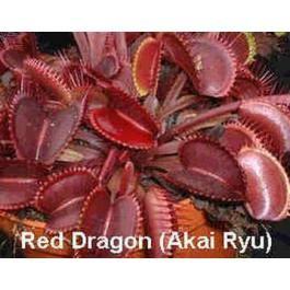 Dionée Muscipula Formes Rouges (Attrape-Mouches) - See more at : http://www.rarexoticseeds.com/fr/graines-plantes-carnivores-rares/graines-dionaea-muscipula-graines-dionee-muscipula-rouge-attrape-mouches.html