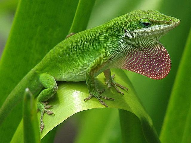 Lizards and the language of colour change It sounds like colour