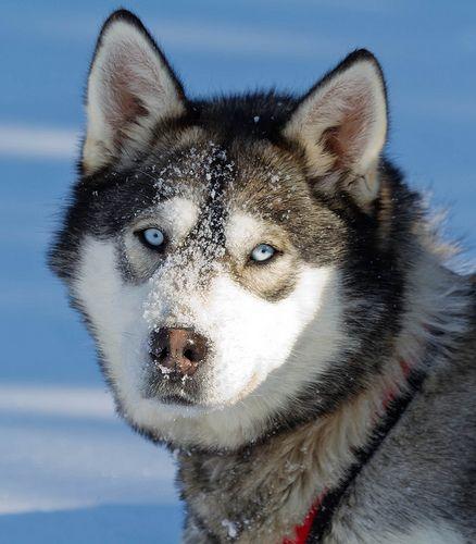 Husky Portrait Husky Snow Dogs Dogs