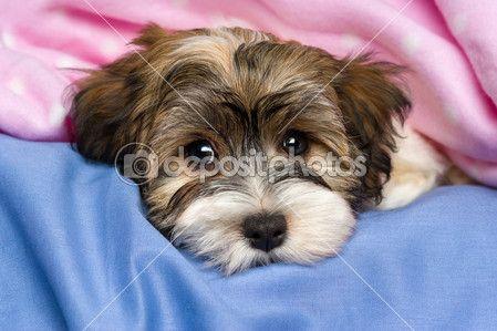 Close Up Portrait Von Einem Niedlichen Kleinen Tricolor Havaneser Welpen Hund Liegt Auf Einem Bett Unter Einer Rosa Decke Isoliert Auf We Havaneser Welpen Havaneser Und Havaneser Hund