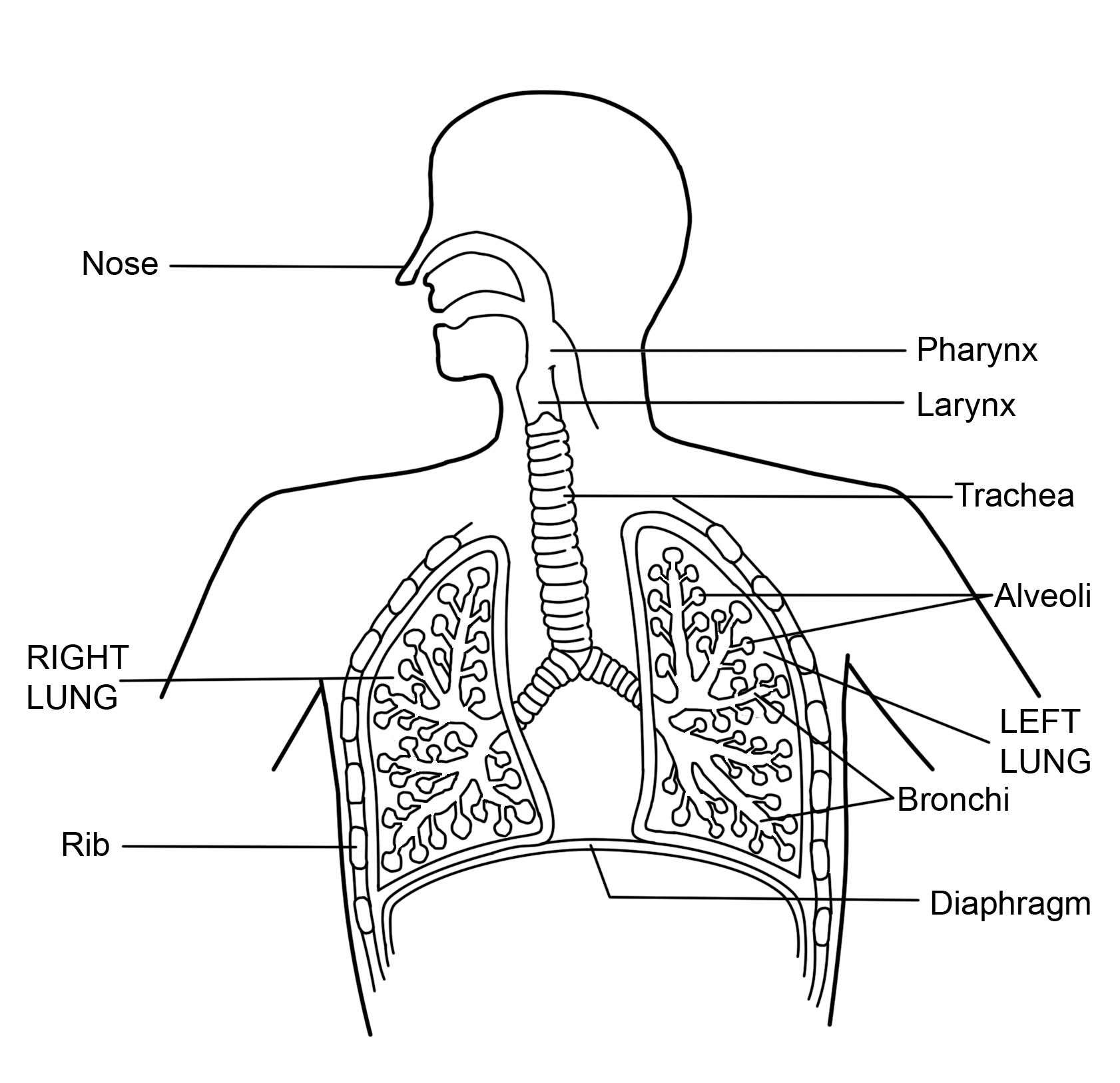 hight resolution of respiratory diagram with labels