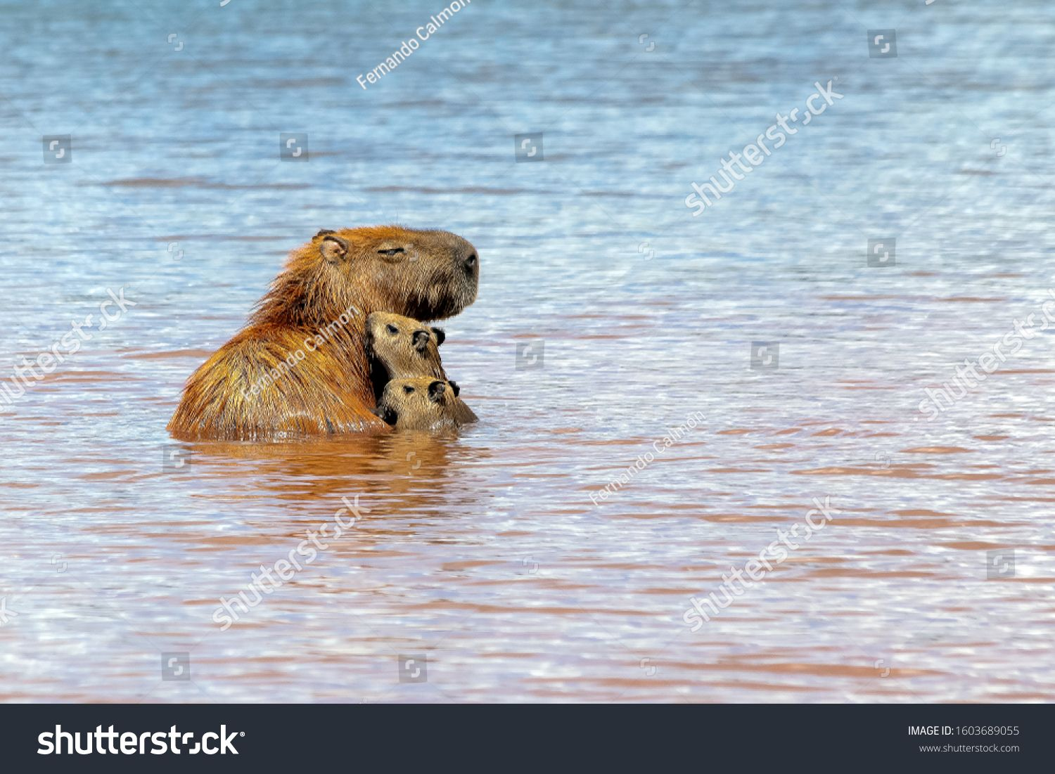 A capybara mother with her two pups sunbathing inside Lake Parano¨¢ in Brasilia, Brazil. The capybara is the largest rodent in the world. Species Hydrochoerus hydrochaeris. Wildlife. Cerrado. #Ad , #AD, #Parano#Lake#Brazil#Brasilia