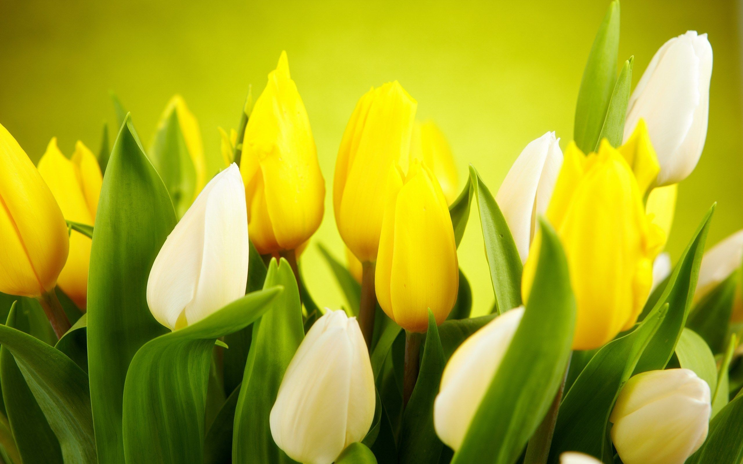 Tulips white yellow flowers spring lale pinterest yellow tulips white yellow flowers spring mightylinksfo Gallery
