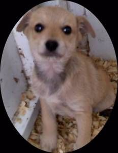 Jack Chi Mix Between A Jack Russell Terrier And A Chihuahua Puppy Adoption Hybrid Dogs Grand Dog