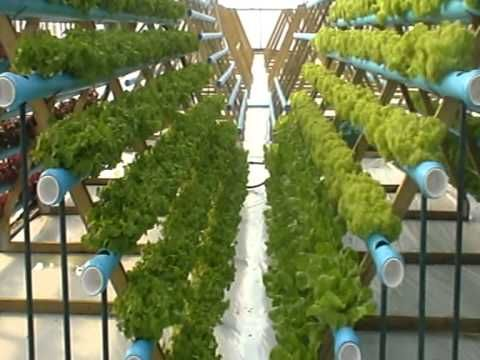 Hydroponic Lettuce Experiment Vertical Growing