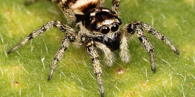 عنكبوت الحمار الوحشي Zebra Spider Spider Bites Home Remedies For Spiders Spider