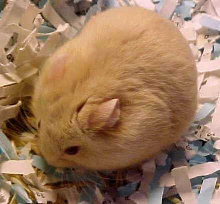 Pictures Three Gene Campbells Russian Dwarf Colors Cute Hamsters Hamster Female Dwarf