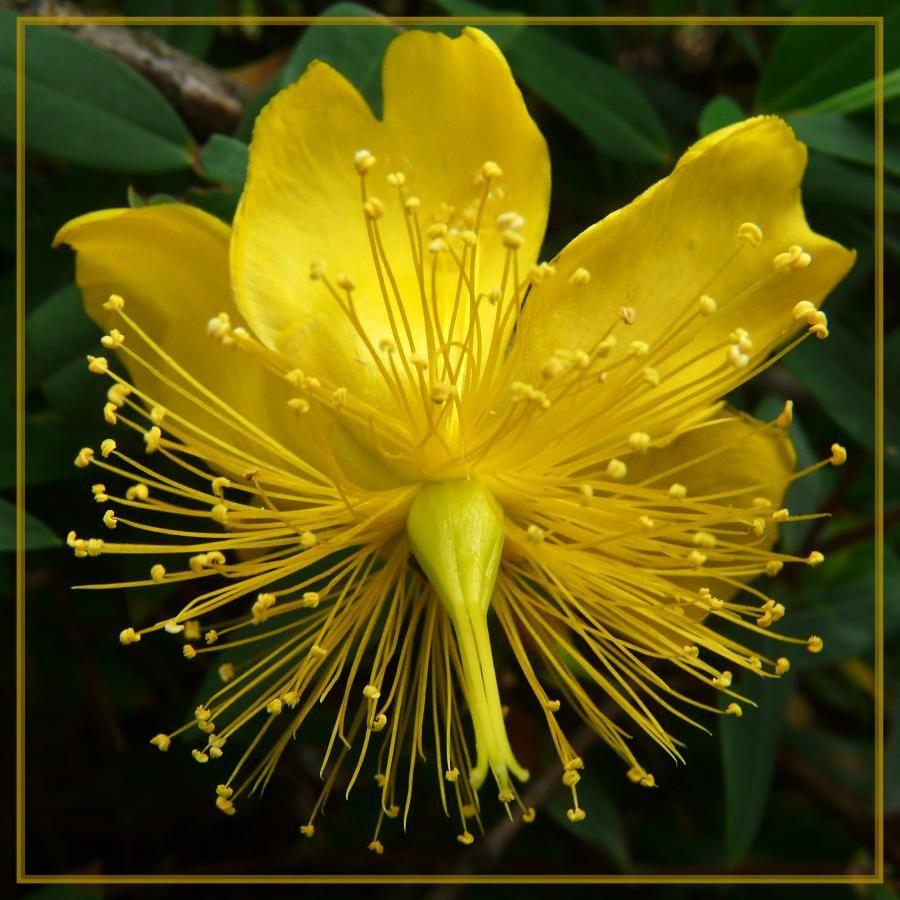 Exotic flowers hypericaceae hypericum perforatum ababoles photo exotic flowers hypericaceae hypericum perforatum ababoles photo hd pixdaus izmirmasajfo Images