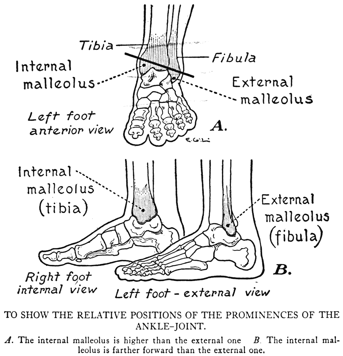 Foot Bones Diagram