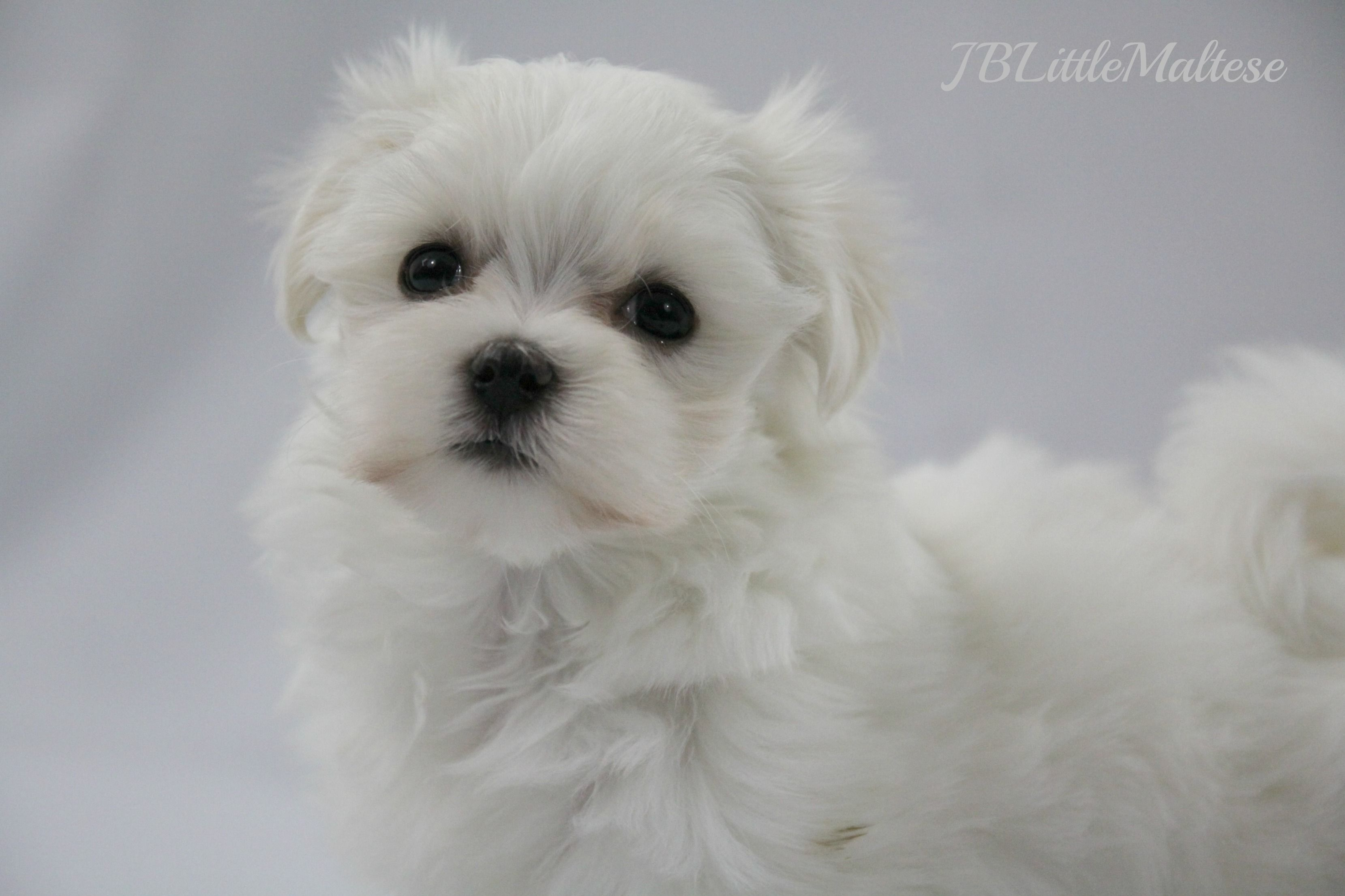 Female Maltese Puppy Sired By Grand Canadian Champion Jblittle Amigo S Bandito Maltese Puppy Puppies Toy Dog Breeds